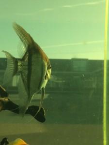 The New Angel Fish